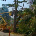 Antisipasi Tumbang, Petugas Taman DLH Atam Tebang Pohon Tua