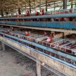 DLH dan Instansi Terkait Lakukan Verifikasi Pengaduan Dugaan Pencemaran oleh Peternakan Ayam